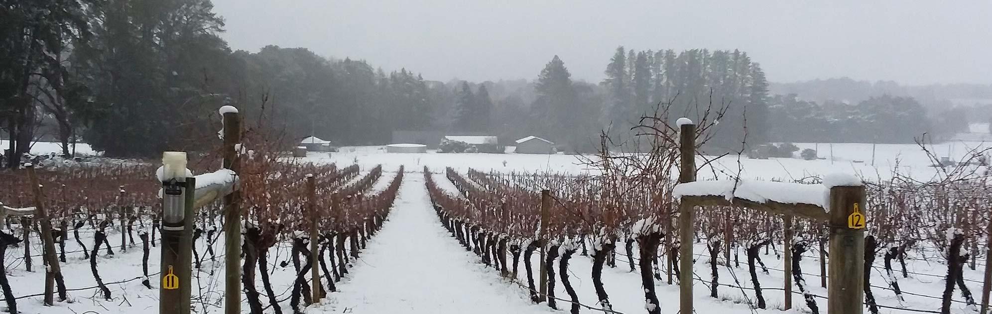 Snow covered vineyard